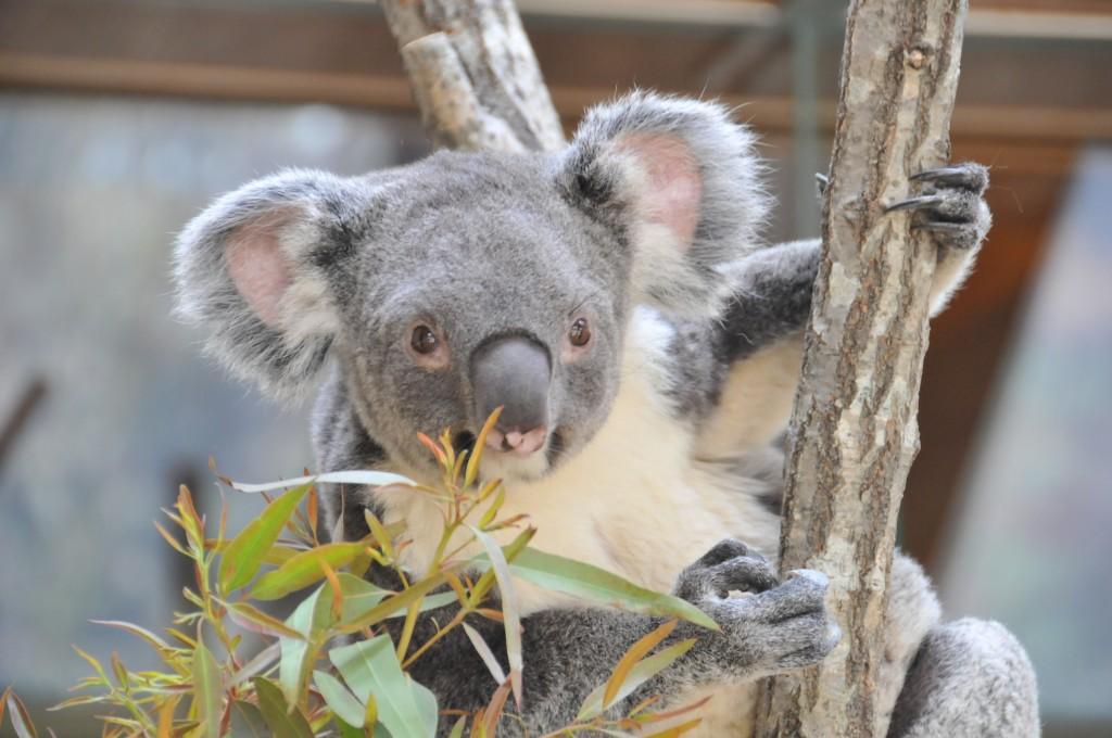 のんびり屋さんのコアラ