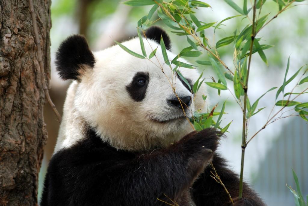 王子動物園の顔!ジャイアントパンダ